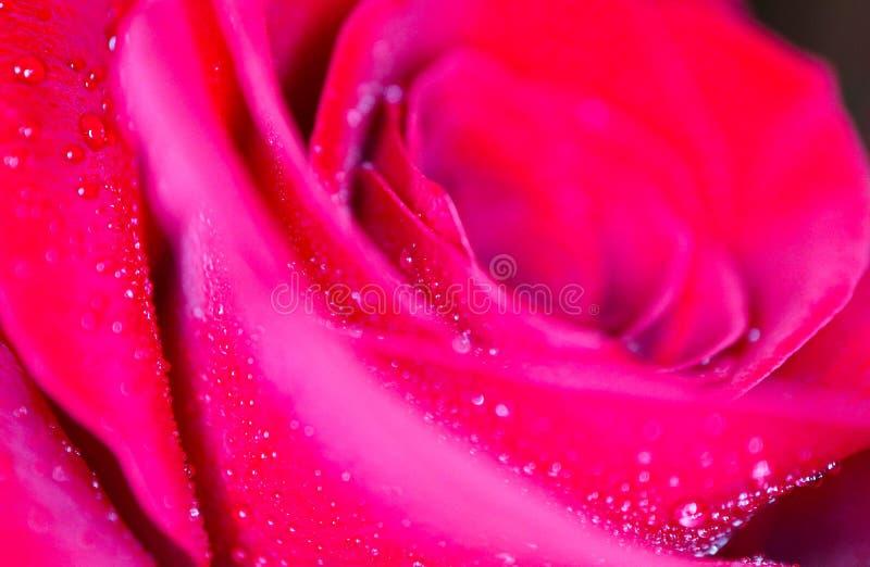 Piękny delikatny czerwieni róży kwiatu płatek z rosa deszczem opuszcza mac obraz stock