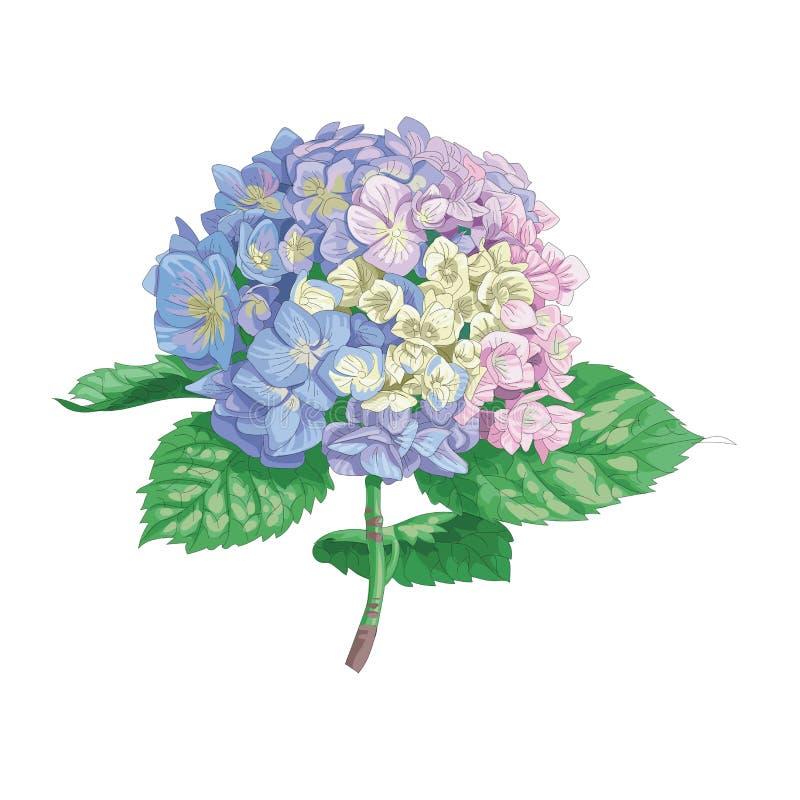 Piękny delikatny hortensja kwiat odizolowywający na białym tle Wielki kwiatostan na trzonie z zielonymi liśćmi Botaniczny vecto royalty ilustracja
