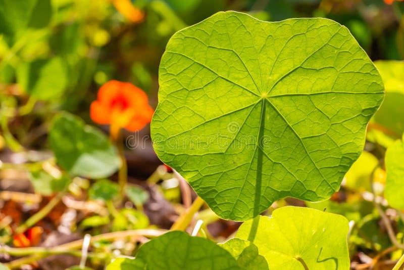 Piękny delikatny zielony liść nasturcja kwiat jest na zamazanym barwionym tle obraz royalty free
