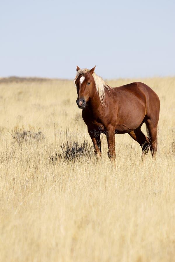Piękny dereszowaty dziki koń blisko Cody, Wyoming, w Amerykańskim zachodzie zdjęcie royalty free