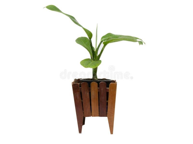 Piękny Dieffenbachia w flowerpot, odizolowywającym zdjęcia royalty free