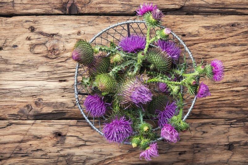 Piękny dojnego osetu kwiat obraz stock