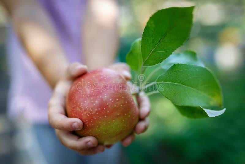Piękny dojrzały czerwony jabłko z zielenią opuszcza w dziecko rękach fotografia stock