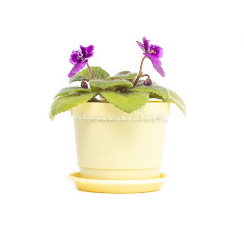 Piękny domowej roboty kwiat w garnku, młody kwitnący fiołkowy fiołek z zielonymi płatkami na białym tle, odizolowywa zdjęcie stock