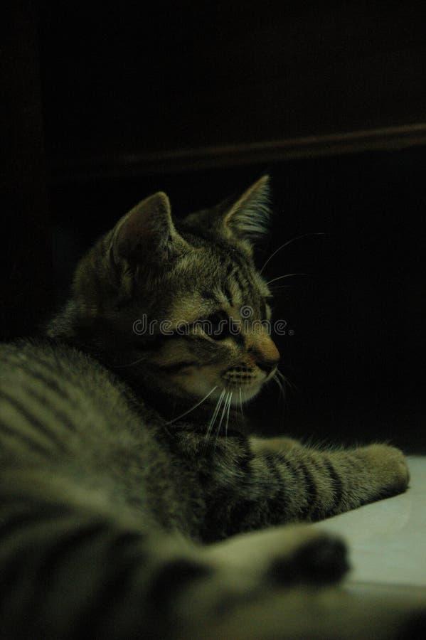 Piękny domowy kot w ten sposób śliczny - uroczy zwierzę zdjęcia stock