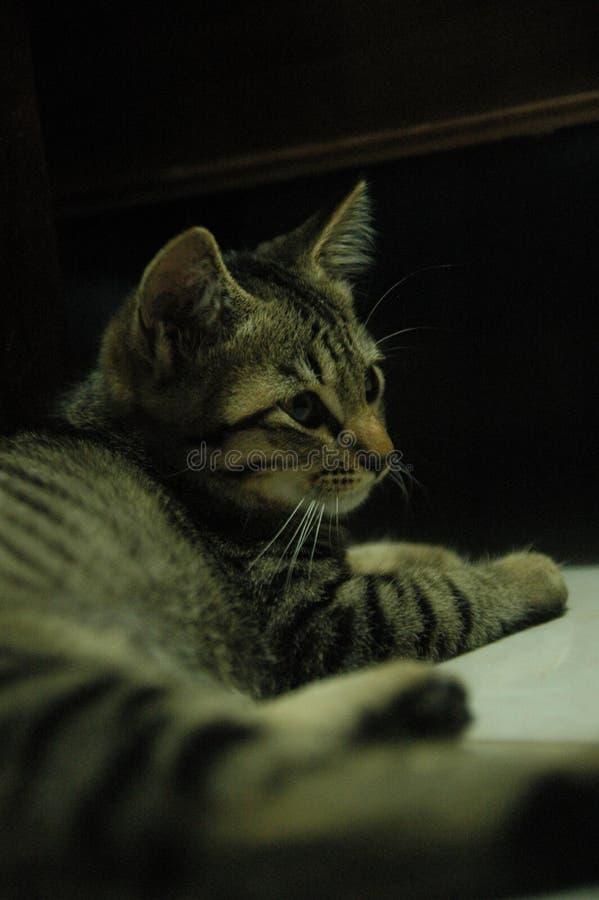Piękny domowy kot w ten sposób śliczny - uroczy zwierzę obraz royalty free