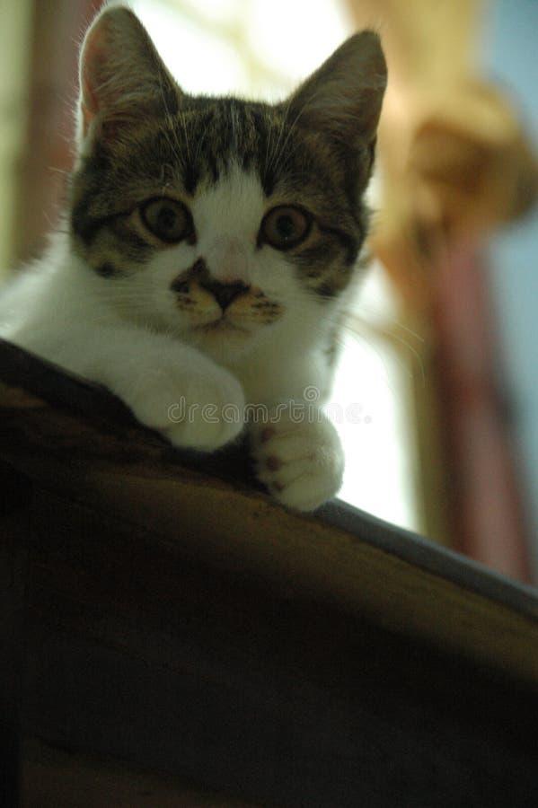 Piękny domowy kot w ten sposób śliczny - uroczy zwierzę obrazy royalty free