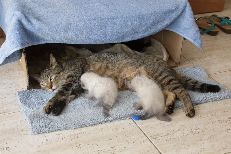 Piękny domowy kot z nowonarodzonymi nowonarodzonymi Syjamskimi figlarek figlarkami śpi w kartonu domu pudełku zdjęcia stock