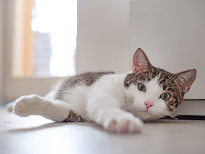 Piękny domowy kota lying on the beach na podłodze, miejsce dla teksta, jeden łapa ciągnął naprzód fotografia stock