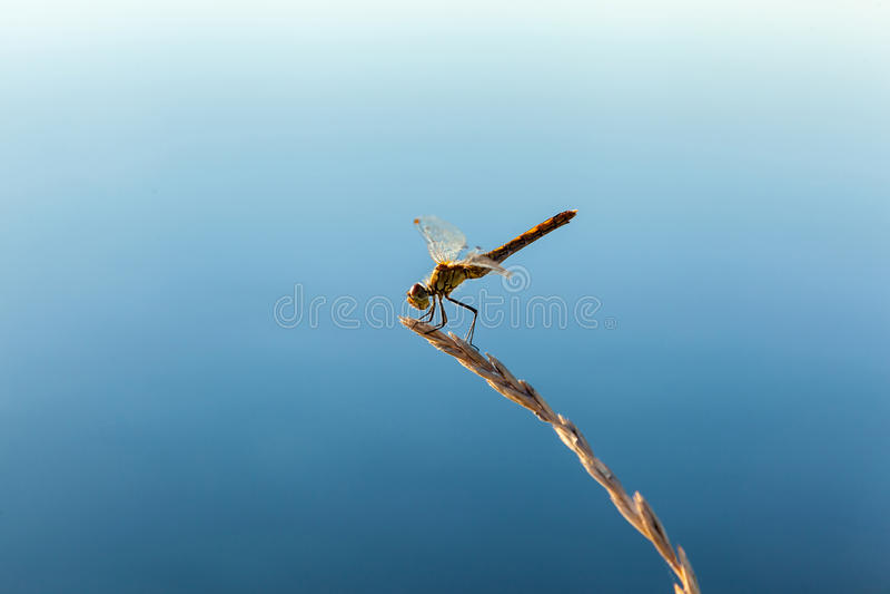 Piękny dragonfly obraz royalty free