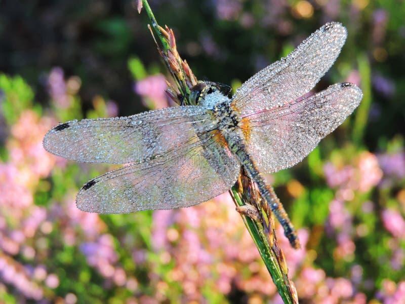 Piękny dragonfly w ranek rosie, Lithuania obraz royalty free