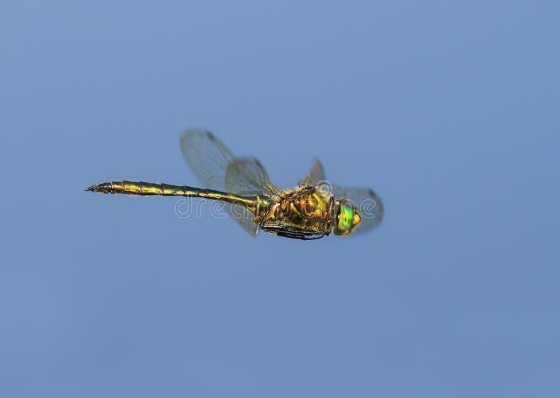 Piękny dragonfly z ampułą ono przygląda się i błyszczący uskrzydla latanie dalej zdjęcia royalty free