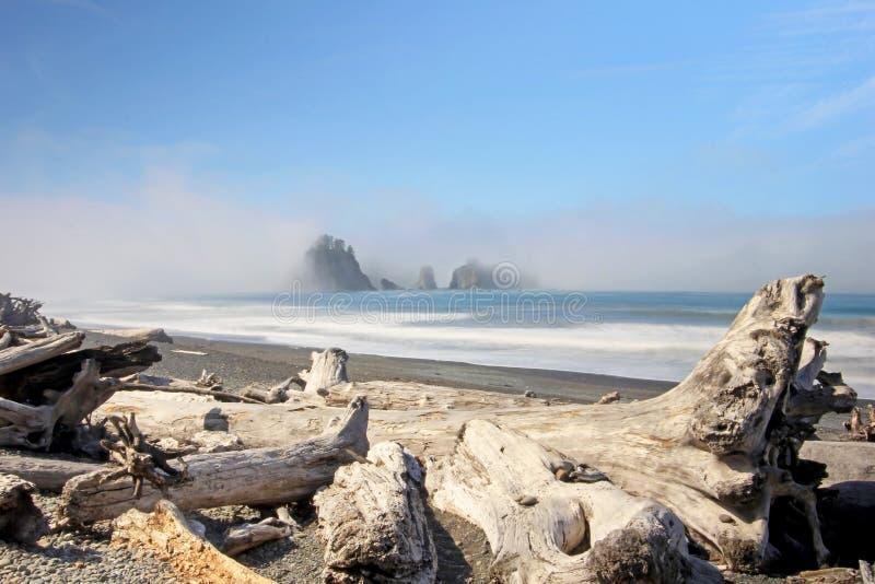 Piękny driftwood z morze stertami w mgle, wybrzeże pacyfiku zdjęcia royalty free