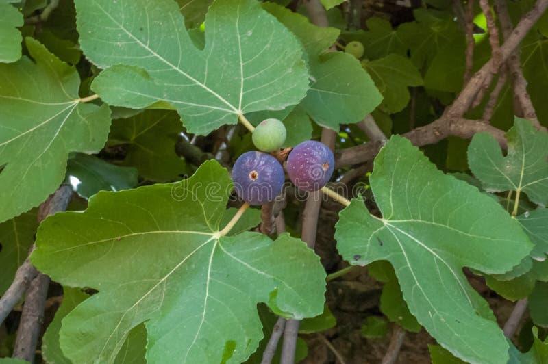Piękny drzewo słodka figa obrazy stock