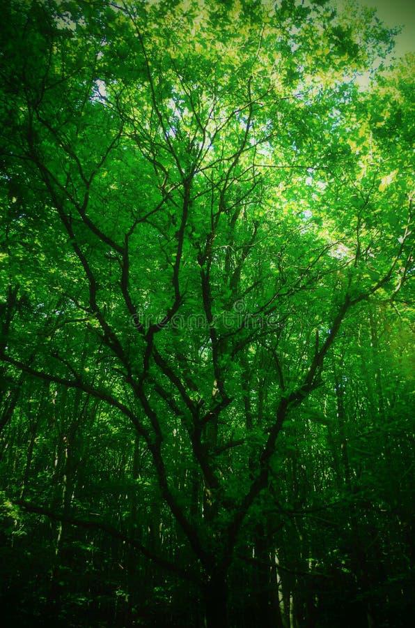 piękny drzewo w lesie obraz royalty free
