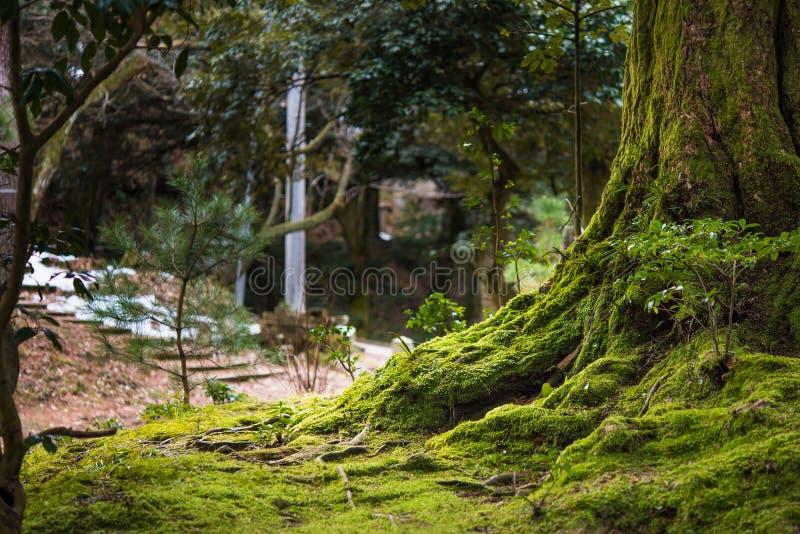 Piękny drzewo z mech zdjęcie stock