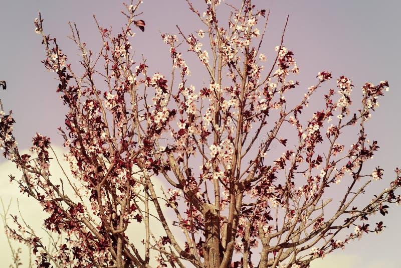 Piękny drzewo z menchiami Kwitnie w kwiacie zdjęcie stock