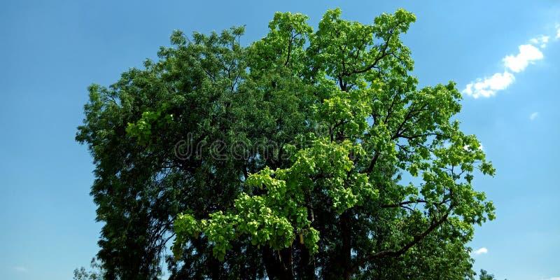 Piękny drzewo z niebieskiego nieba tła fotografią zdjęcie stock