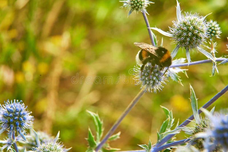 Piękny duży bumblebee zbiera nektar na błękitnym kwiacie obraz stock