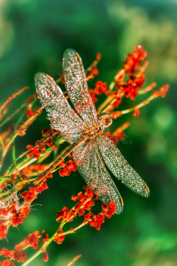Piękny duży dragonfly z kroplami ranek rosy obsiadanie na kwiacie _ obrazy royalty free