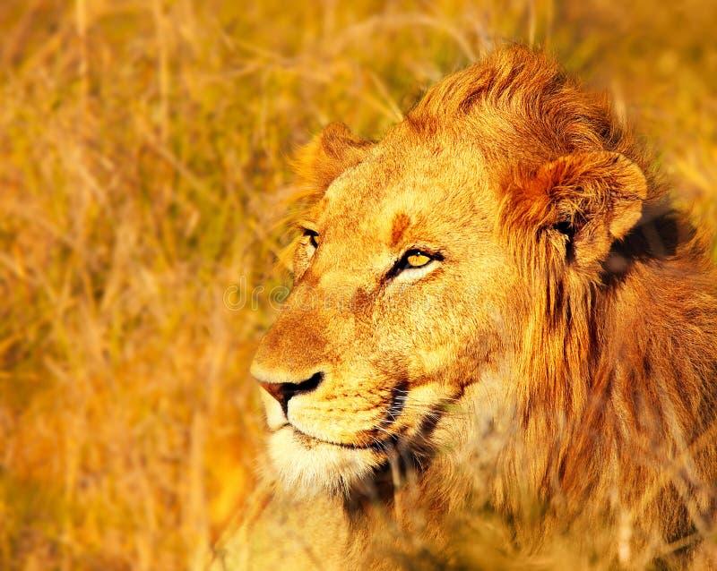 Piękny dziki afrykański lew fotografia royalty free