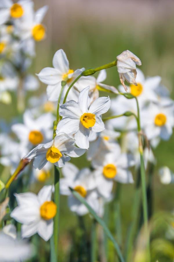Piękny dziki fragrant narcyz kwitnie narcyza tazetta, kwitnący narcyz, daffodil, chińczyk święta leluja w pełnym obraz stock