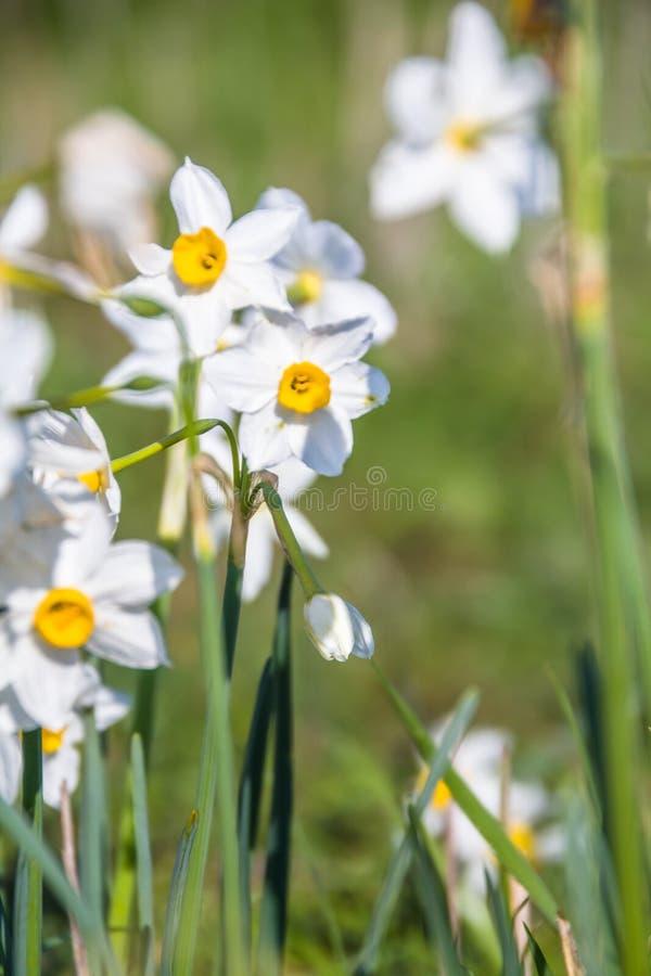 Piękny dziki fragrant narcyz kwitnie narcyza tazetta, kwitnący narcyz, daffodil, chińczyk święta leluja w pełnym zdjęcia royalty free
