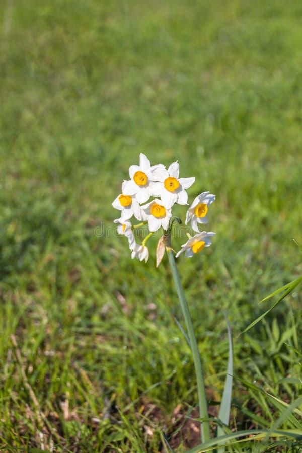 Piękny dziki fragrant narcyz kwitnie narcyza tazetta, kwitnący narcyz, daffodil, chińczyk lelui święty kwiat fotografia stock