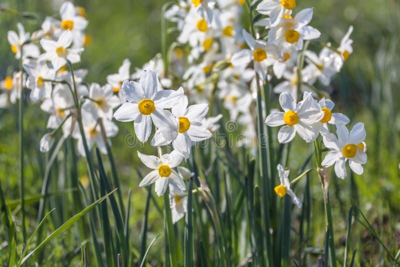 Piękny dziki fragrant narcyz kwitnie narcyza tazetta, kwitnący narcyz, daffodil, chińczyk lelui święty kwiat zdjęcia stock