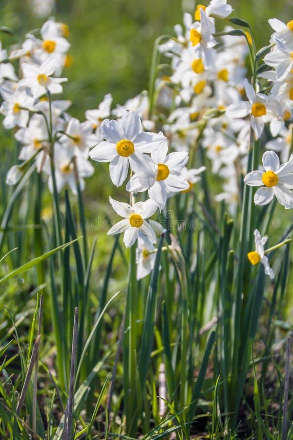 Piękny dziki fragrant narcyz kwitnie narcyza tazetta, kwitnący narcyz, daffodil, chińczyk lelui święty kwiat obrazy royalty free