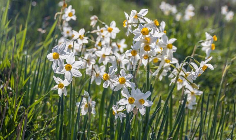 Piękny dziki fragrant narcyz kwitnie narcyza tazetta, kwitnący narcyz, daffodil, chińczyk lelui święty kwiat zdjęcie stock