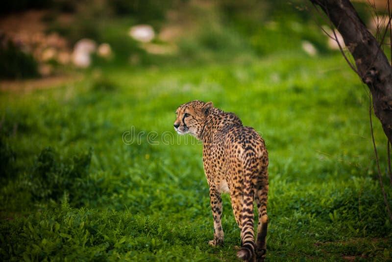 Piękny Dziki gepard, Zamyka up zdjęcia stock