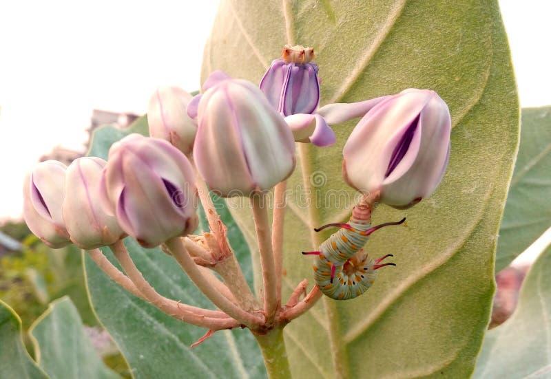 piękny dziki kwiat i pączek białe perły kwitniemy dżdżownicy obrazy royalty free