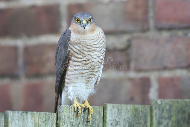 Piękny, dziki, Sparrowhawk, Accipiter nisus, umieszczał na ogrodowy płotowy patrzeć wokoło dla swój następnego posiłku zdjęcie royalty free