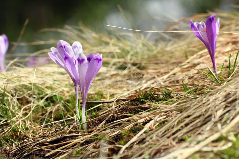 Piękny dzikiego kwiatu krokus sativus zdjęcia stock