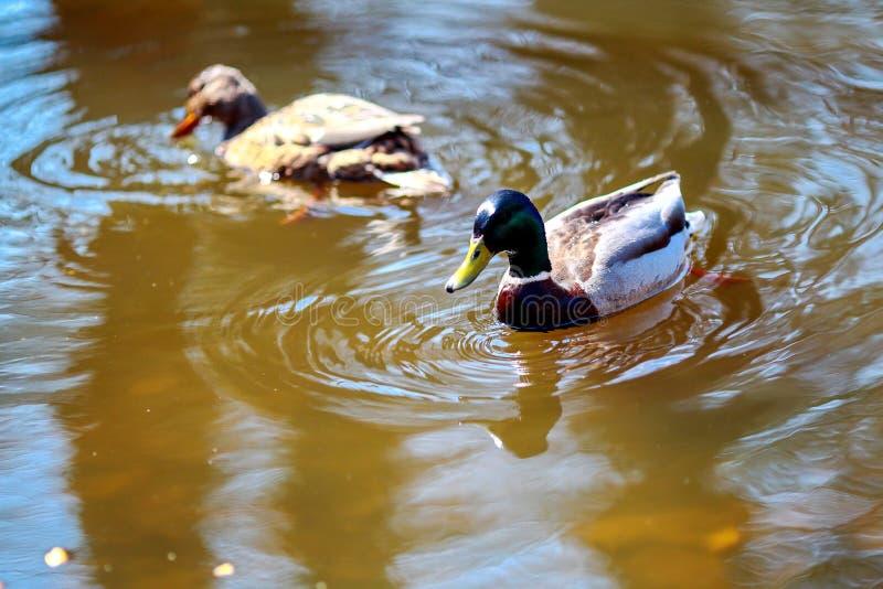 Piękny dzikiej kaczki pływanie obraz stock