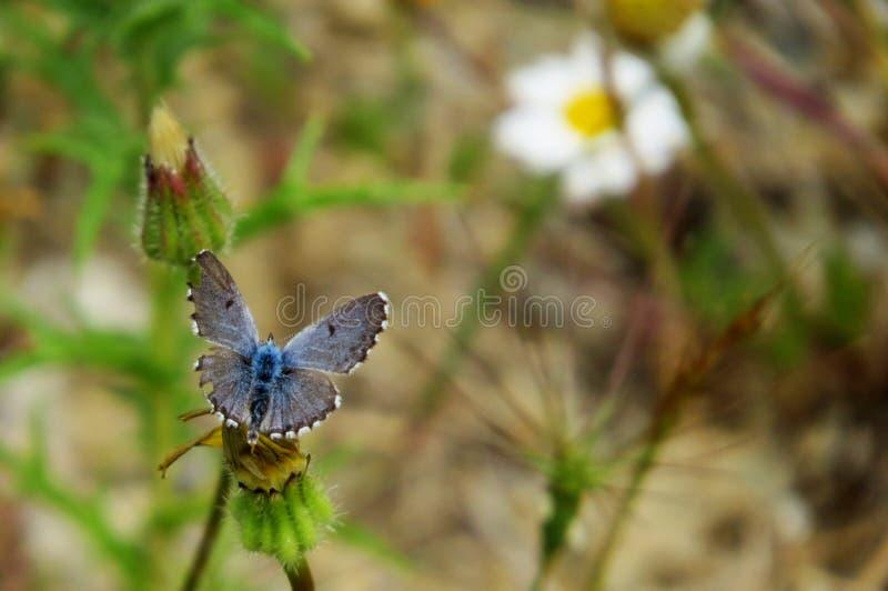 Piękny Eros błękita motyl obraz stock
