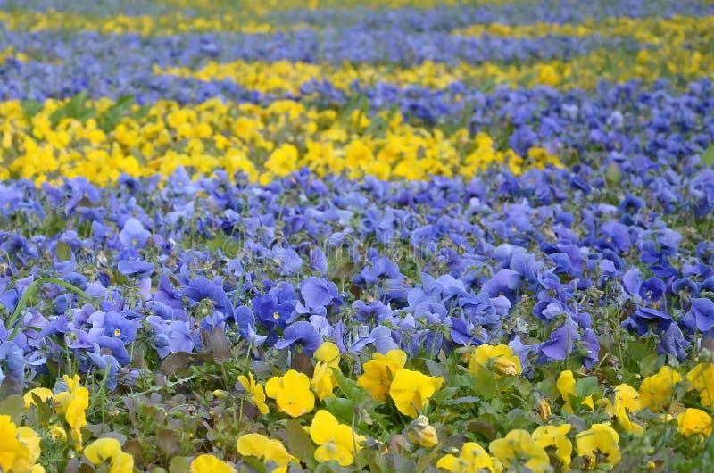 Piękny fiołek i kolor żółty kwitnie pansies w wiosna ogródzie fotografia stock