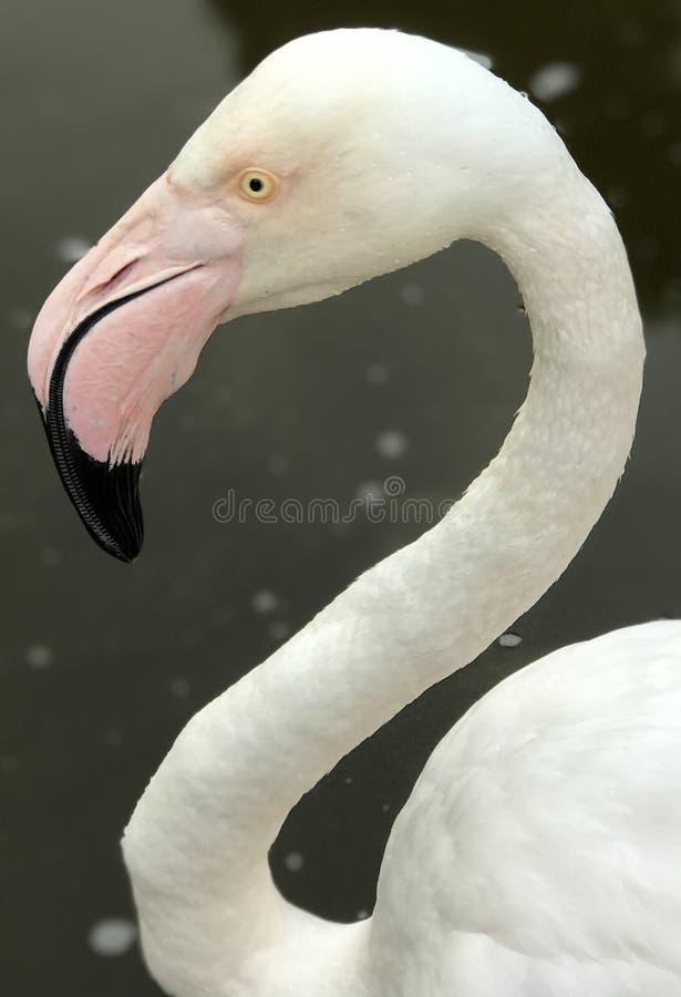 Piękny flaminga pozować obrazy royalty free