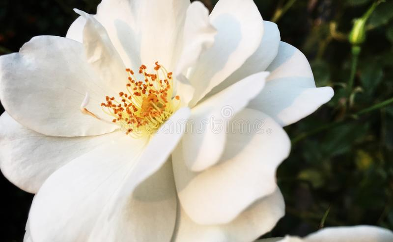 Piękny flowerhead biała róża obraz stock