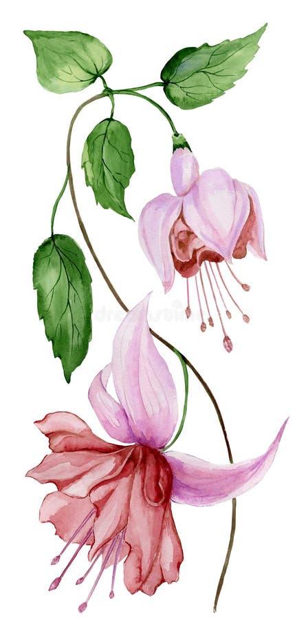 Piękny fuksja kwiat na gałązce z zielonymi liśćmi pojedynczy białe tło adobe korekcj wysokiego obrazu photoshop ilości obraz cyfr ilustracji