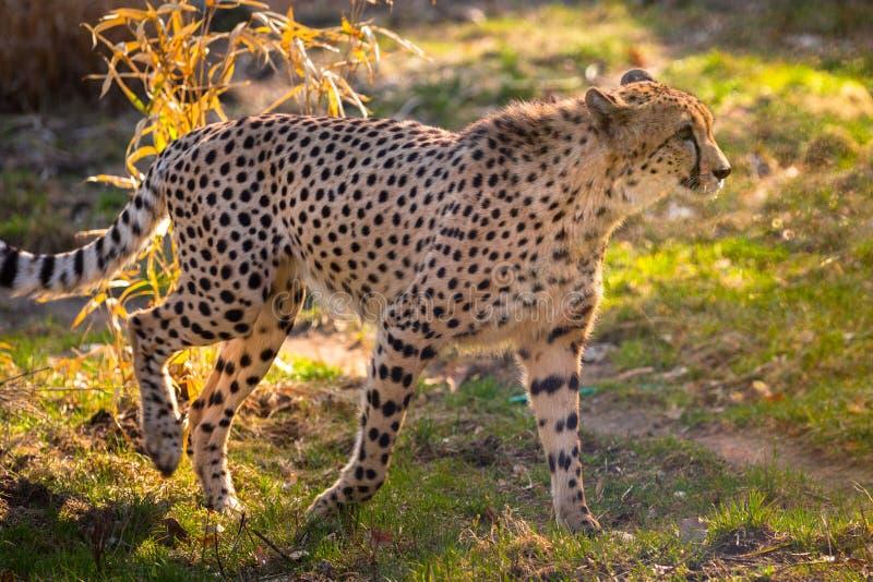 Piękny geparda odprowadzenie zdjęcia stock