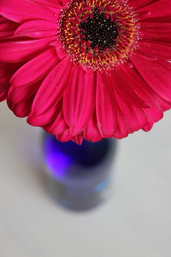 Piękny Gerbera w błękitnej butelce zdjęcie royalty free