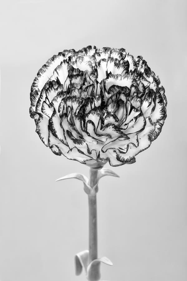Piękny goździka kwiat odizolowywający na białym tle zdjęcia stock