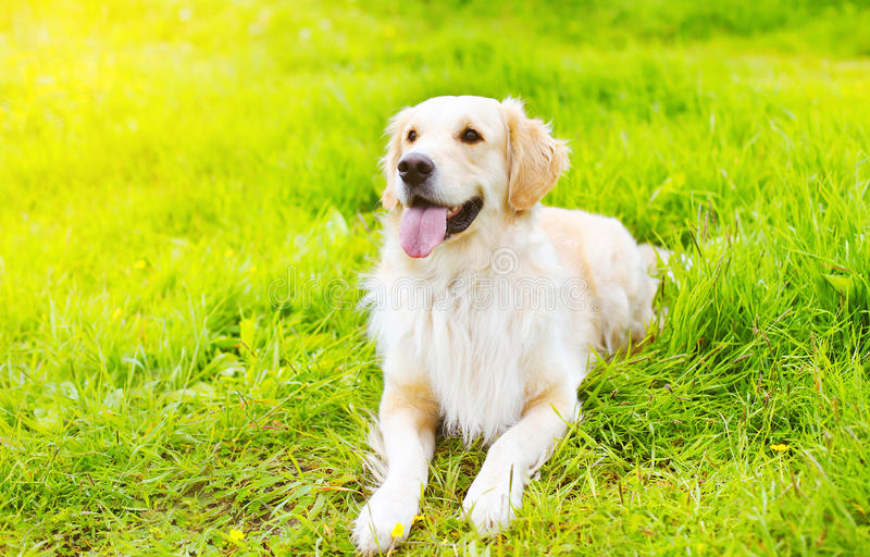 Piękny golden retriever psa lying on the beach na trawie obraz stock