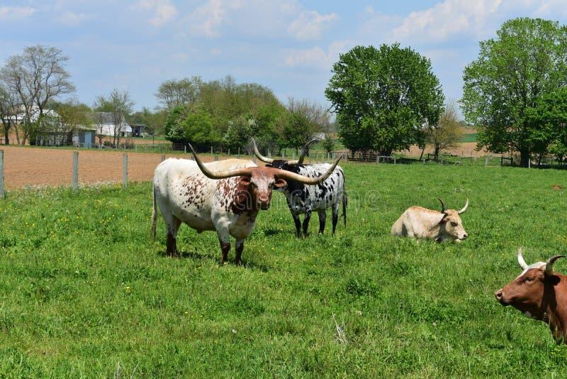 Piękny gospodarstwo rolne z bydlęciem na wiosna dniu zdjęcia royalty free