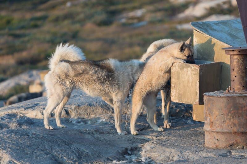 Piękny Greenland sania pies zaświecał z backlight od ciepłego lata słońca Ilulissat, Greenland Greenland psa szczeniak Te trakeny fotografia stock