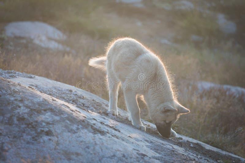 Piękny Greenland sania pies zaświecał z backlight od ciepłego lata słońca Ilulissat, Greenland Greenland psa szczeniak Te trakeny zdjęcie stock