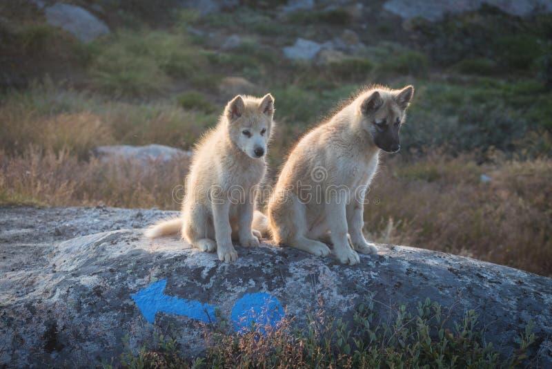 Piękny Greenland sania pies zaświecał z backlight od ciepłego lata słońca Ilulissat, Greenland Greenland psa szczeniak Te trakeny obraz royalty free