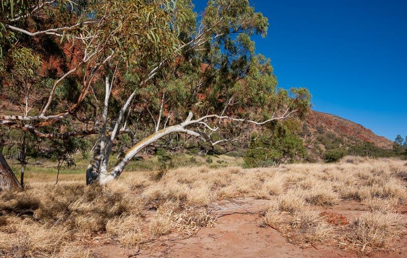 Piękny gumowy drzewo przy roztoki Helen wąwozem obrazy stock